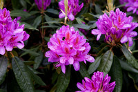 rhodedendrons 3